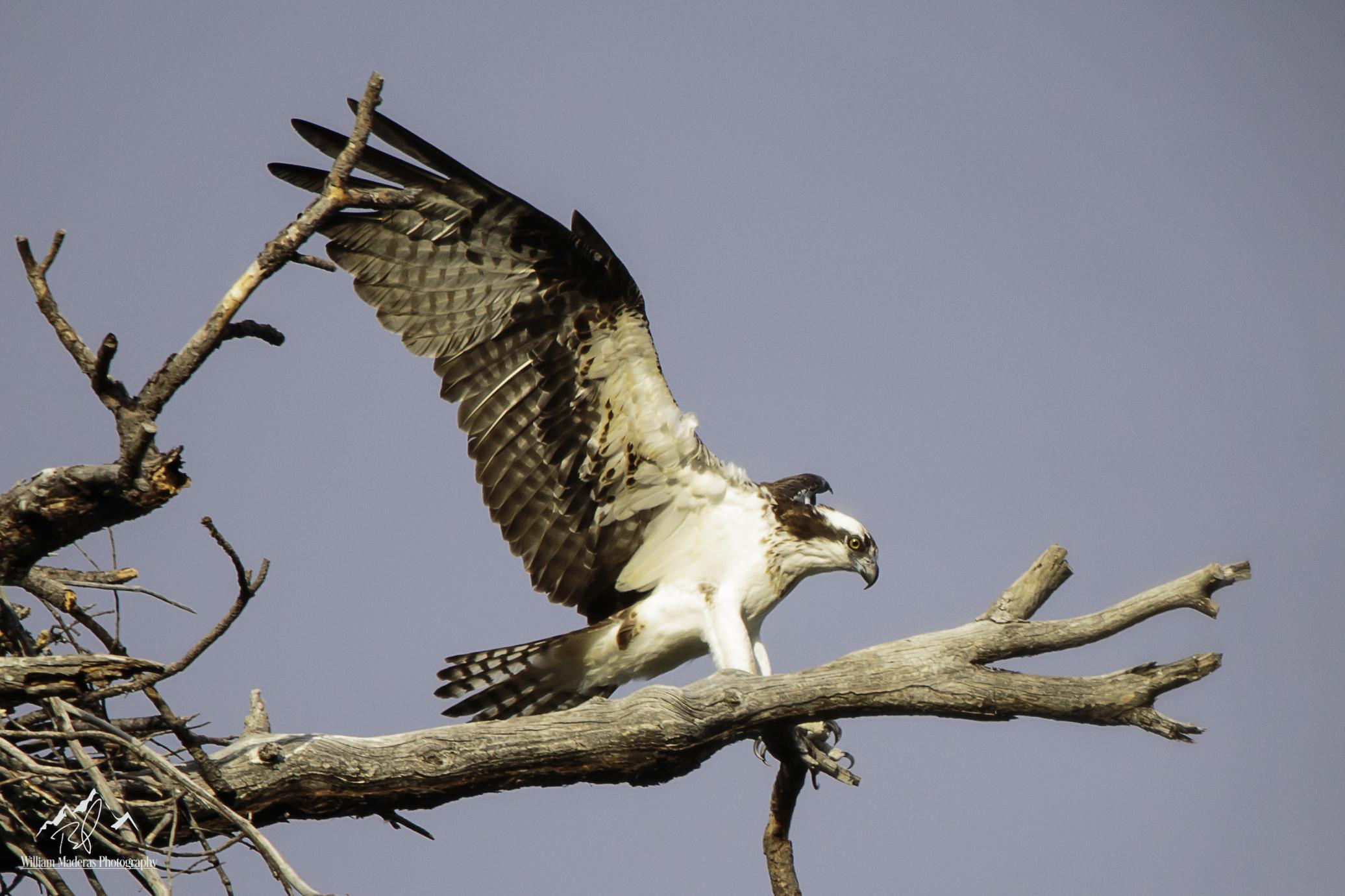Osprey2151