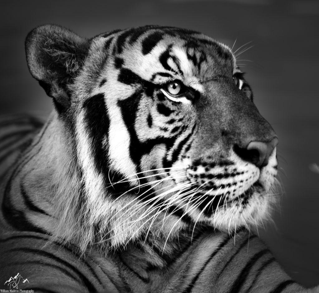 Tiger2801-1BW