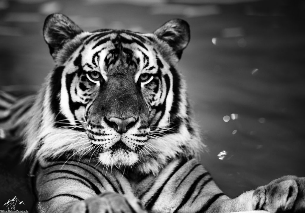 Tiger2804-1