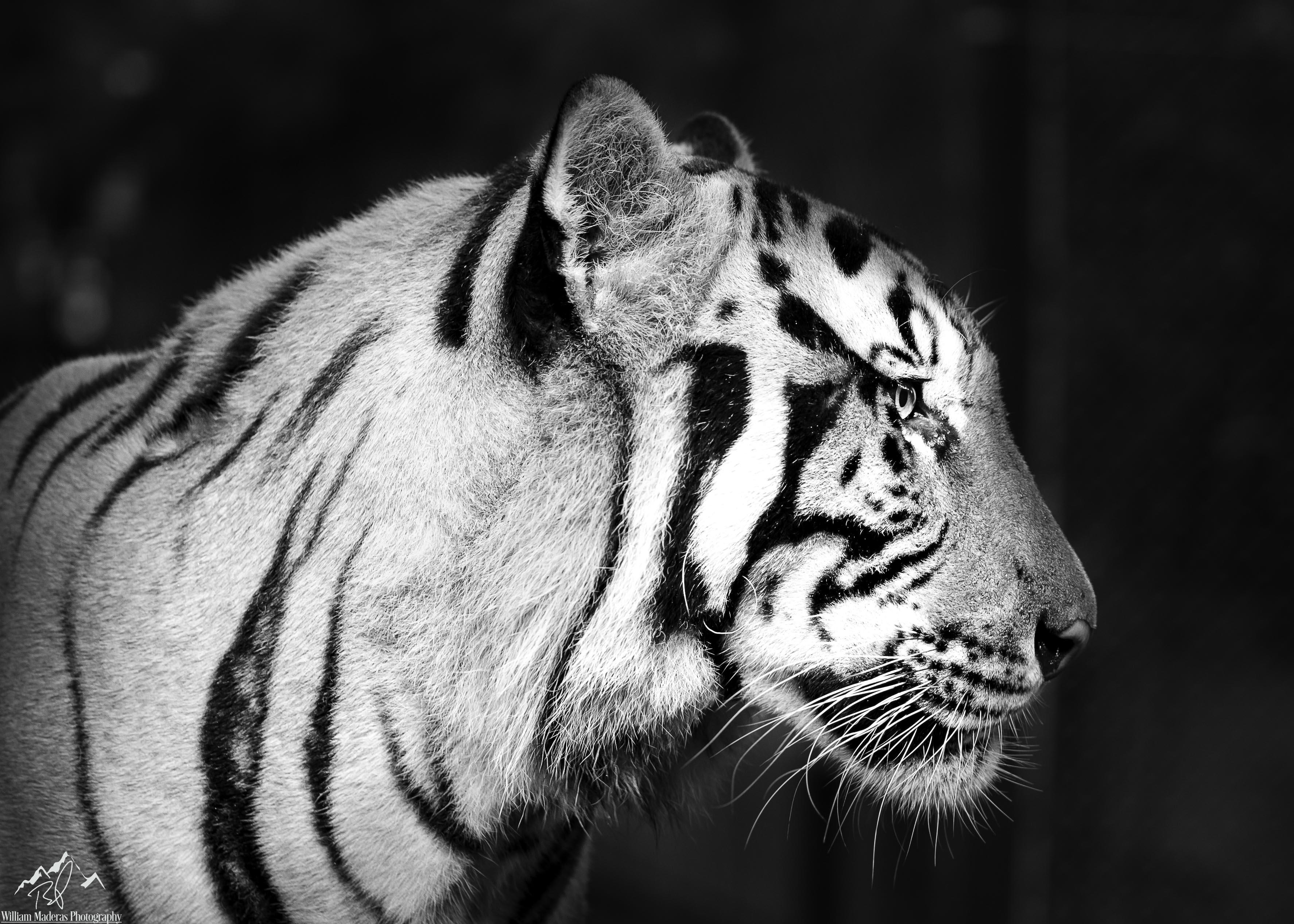 Tiger2893BW