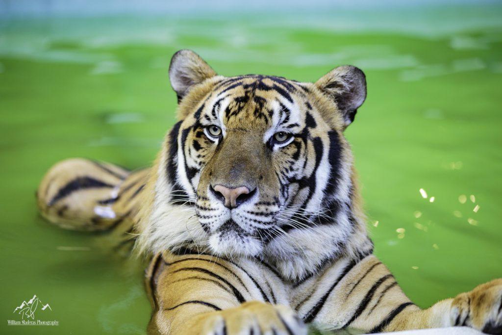 Tiger2805